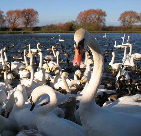 Swan Feed, credit Brian Morrell