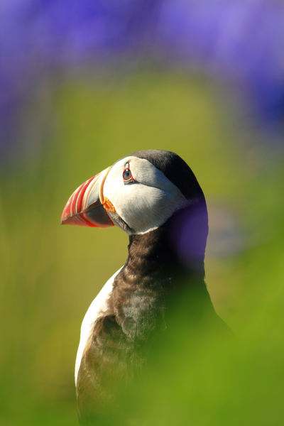 PUFFIN THROUGH THROUGH THE BLUEBELLS, taken in June on the Isle of Lunga when the bluebells are in full bloom, and the puffins are on the island. We took a boat from Mull and spent the day there; weather fantastic, one place you must visit at this time of year.